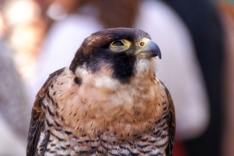 Bird Birds Falcon Beauty In Nature Close-up Bokeh Bokeh Photography Bokehlicious Bokeh Background Eye