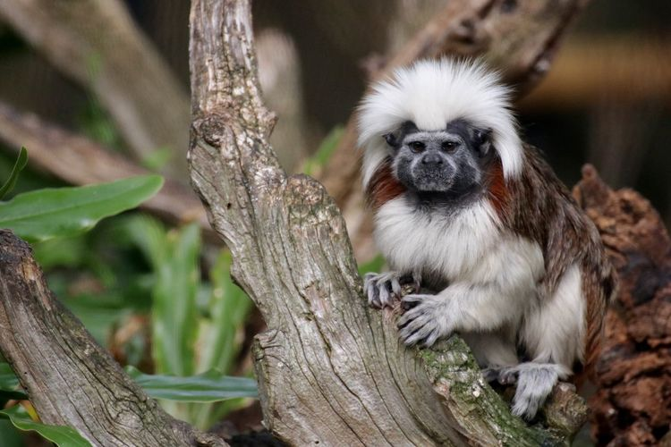 Bad hair day Animal Themes Animals In The Wild Bad Hair Day Branch Close-up Cotton Top Tamarin Day Early Morning Forest Grumpy Looking At Camera Mammal Monkey Nature NEW WORLD  No People One Animal Outdoors Portrait Primate Sitting Tree Wildlife