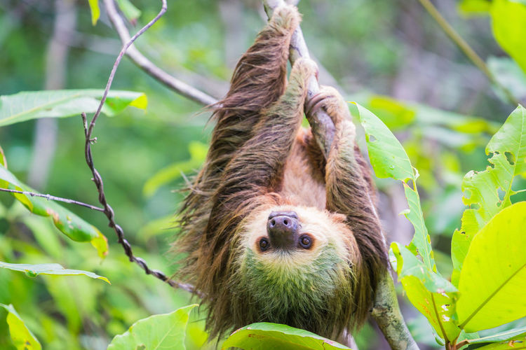 Close-up of sloth hanging on tree