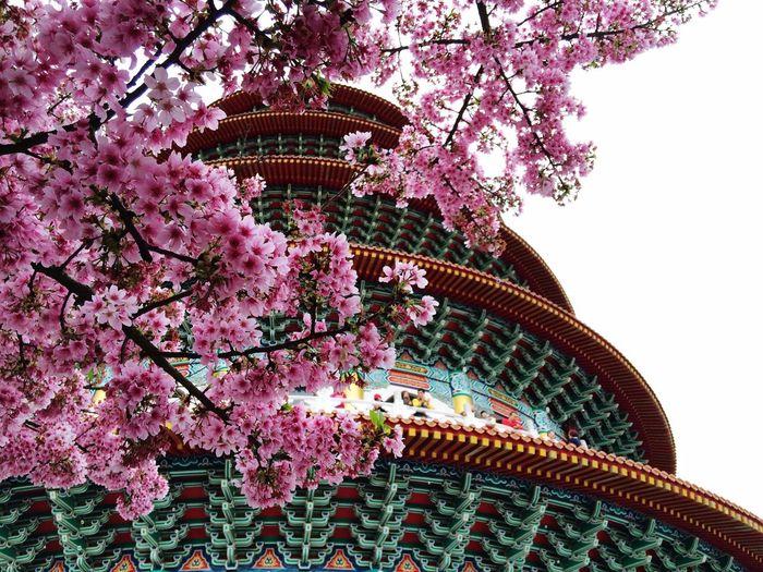 爆炸的櫻花,美到讓人捨不得閉眼