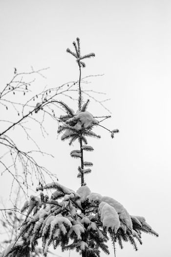 Low angle view of plant against clear sky during winter