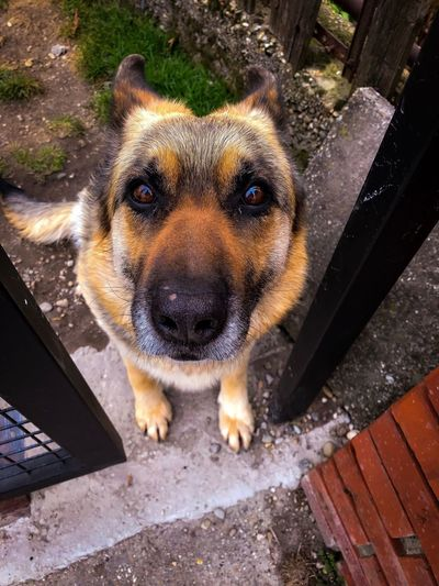 Cute Pets Cute IPhoneography IPhone IPhone 7 German Shepherd Brown Girl Eyes Dog Animal Themes One Animal Mammal Pets Domestic Animals Portrait Looking At Camera No People Outdoors Close-up