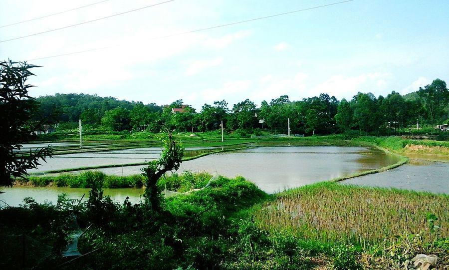 Cây trụi lá và đồng ngập nước. Bắc Giang Tân Yên