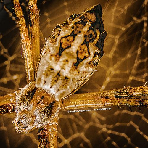 Spider - Macro
