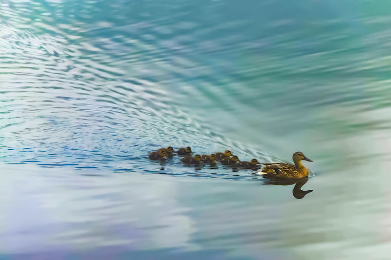 High angle view of duck with ducklings swimming in lake