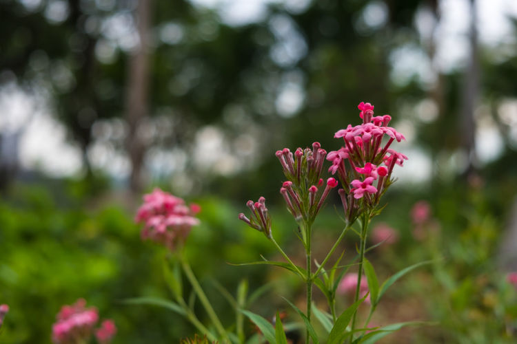 Bright Green Nature Pink Rondeletia Odorata Background Beauty Beauty In Nature Bloom Blooming Blossom Close Up Colorful Flora Floral Flower Flowering Plant Focus On Foreground Fragrant Garden Leucophylla Outdoor Outdoors Petal Roses