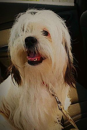 My Pets EyeEm Pets Petstagram DogLove ShiTzuForever🐶 Bentley Purebred Shitzus