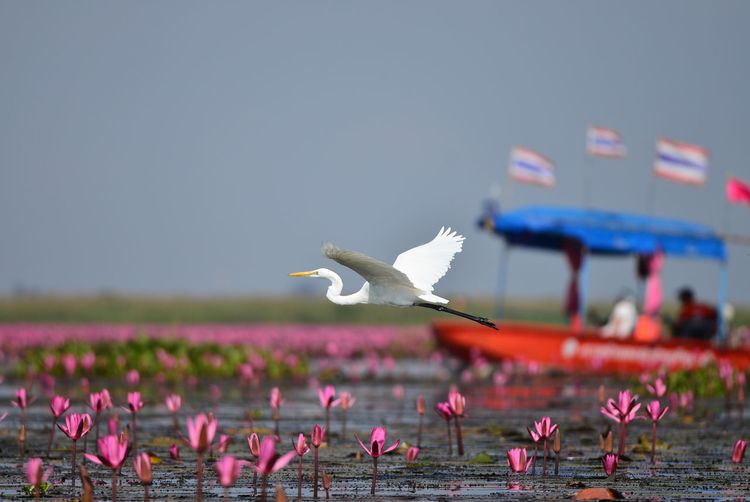 thailand Bird Animals In The Wild Animal Wildlife Vertebrate Flying Animal Animal Themes Pink Color Nature Day No People Focus On Foreground Water Spread Wings Flowering Plant Flower Outdoors Seagull Plant Sky Beauty In Nature