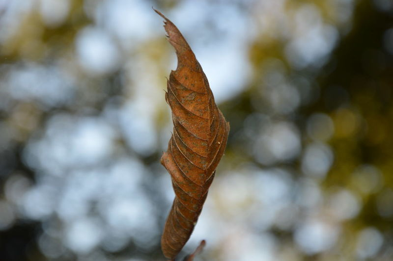 Close-up of dried leaf against blurred background
