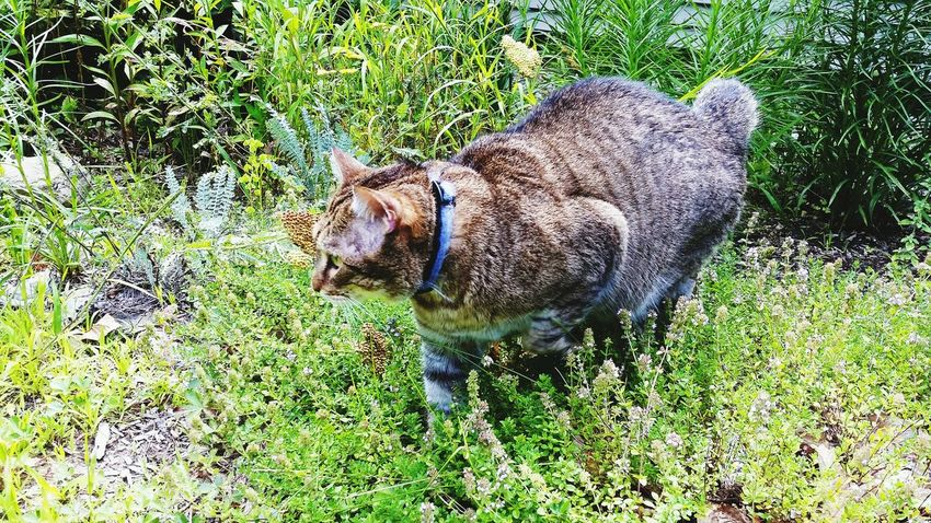 This is Bob EyeEm Nature Lover Kitty Cat Garden Bobcat Wildflower