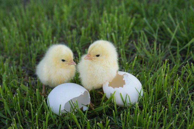 Chicks On Grassy Field