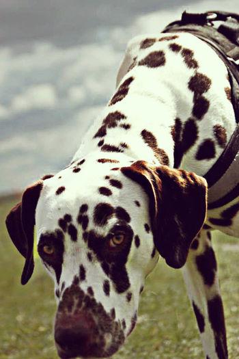 Portrait Of Dalmatian On Grassy Field