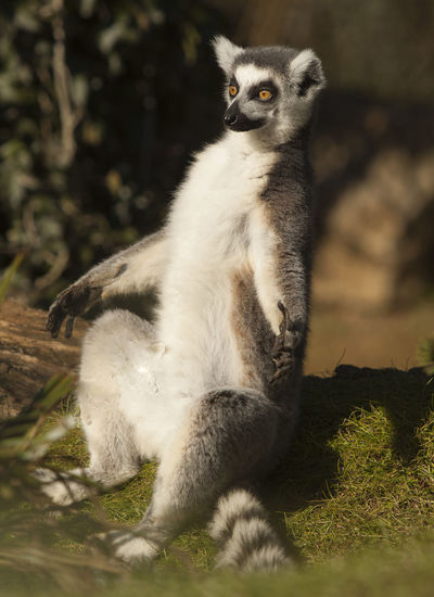 Animal Wildlife Animals In The Wild Day Full Length Land Lemur Looking Looking Away Mammal Nature No People One Animal Outdoors Plant Selective Focus Sitting Vertebrate