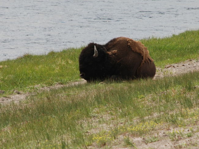 Yellowstone Animals Bison, Buffalo, Blackbirds, Wyoming, Wild, Animal, Horns, Fur, Raw, Brown Large Animal Mammal