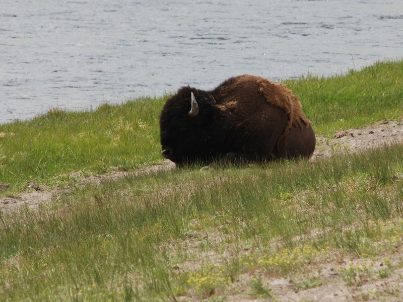 Yellowstone Animals Bison, Buffalo, Blackbirds, Wyoming, Wild, Animal, Horns, Fur, Raw, Brown Large Animal Mammal