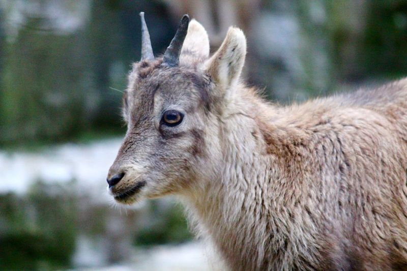 EyeEmNewHere Young Animal Young Steinbock Baby Steinbock Ibex Baby Ibex One Animal Animal Themes Mammal Focus On Foreground Day Animals In The Wild Animal Wildlife Nature Close-up Outdoors The Great Outdoors - 2018 EyeEm Awards
