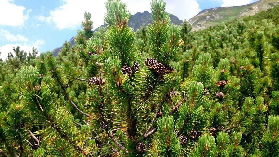 Naturelovers In Der Krummholzzone,