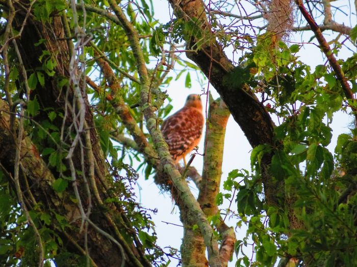 Wild Hawk (May 2nd 2019) Hawk Hawk - Bird Hawks Bird Of Prey Tree Bird Perching Branch Animal Themes Sky Green Color