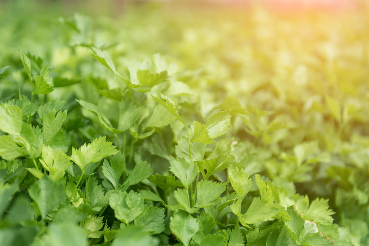 Celery hydroponics method of growing plants Plant Plant Part Food And Drink Agriculture Food Leaf Green Color Growth Nature Field Vegetable Freshness Close-up Crop  Rural Scene Farm Beauty In Nature Land Selective Focus No People Outdoors Organic Herb