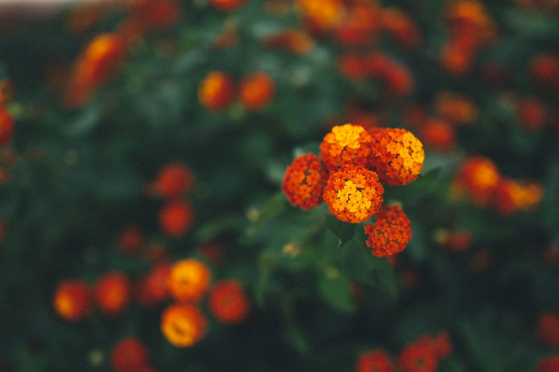 Beauty In Nature Blooming Close-up Day Flower Flower Head Focus On Foreground Fragility Freshness Growth Lantana Camara Marigold Nature No People Orange Color Outdoors Petal Plant