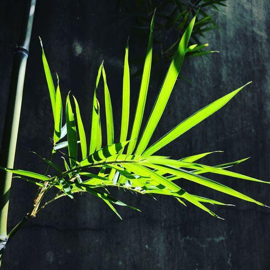 竹。 Leaf