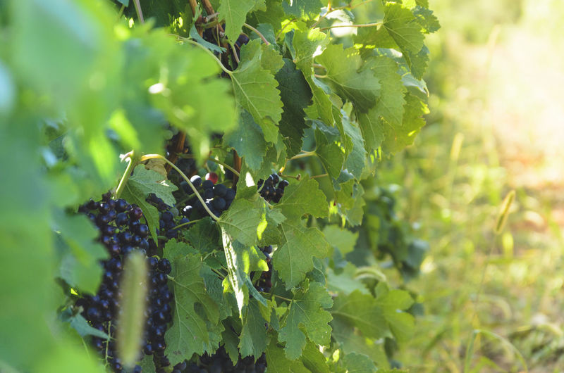 The wine country Morning Romania Day Grapes Green Color Growth Leaf Nature No People Outdoors Plant Wine Wine Country Winery