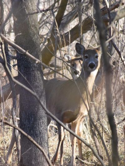 White-tailed Deer Nature