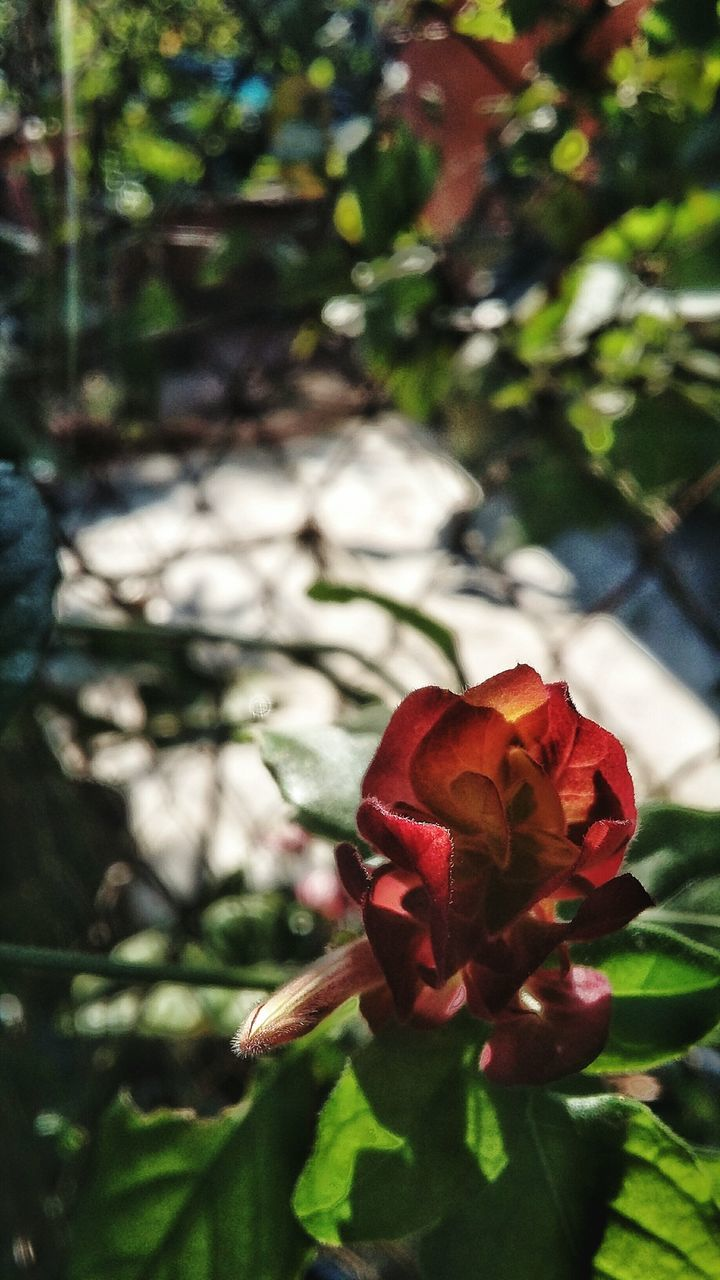 flower, nature, beauty in nature, petal, fragility, growth, focus on foreground, flower head, day, plant, red, no people, outdoors, freshness, close-up, blooming