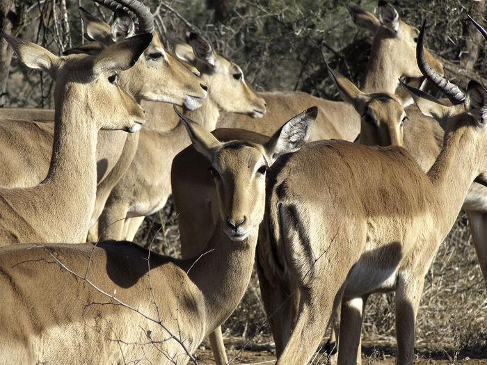African Female Impala (ewes) Impala Male Impala Animal Themes Antelope Buck Close-up Day Herbivore Herbivorous Herd Of Impalas Large Group Of Animals Mammal Nature No People Outdoors Prey Animal Safari Safari Animals Standing Togetherness Tourism