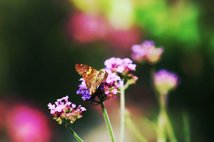 Flower Nature Focus On Foreground Insect Beauty In Nature No People Plant Butterfly Butterfly Collection Butterfly 😊 Outdoors Pollination Flower Head