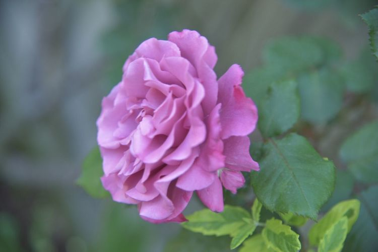 Rose - Flower Snapshot Yokohama Nature Photography Snapshots Snapshots Of Life Flowers Spring Flowers Flower Collection Rosé Rose🌹 Nikon D750