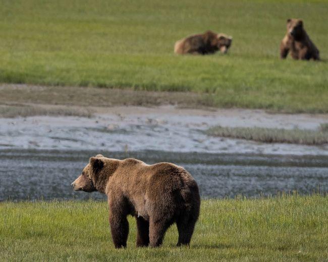 Bears Standing On Grassy Field