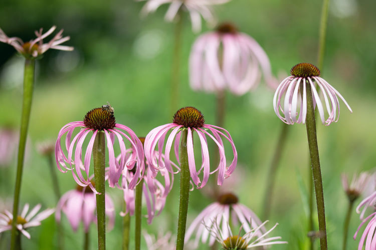 Echinacea in the garden Flower Flowering Plant Vulnerability  Plant Fragility Beauty In Nature Freshness Growth Petal Flower Head Inflorescence Coneflower Close-up Focus On Foreground Plant Stem Pink Color Nature Day No People Pollen Outdoors Purple Echinacea Echinacea Flower