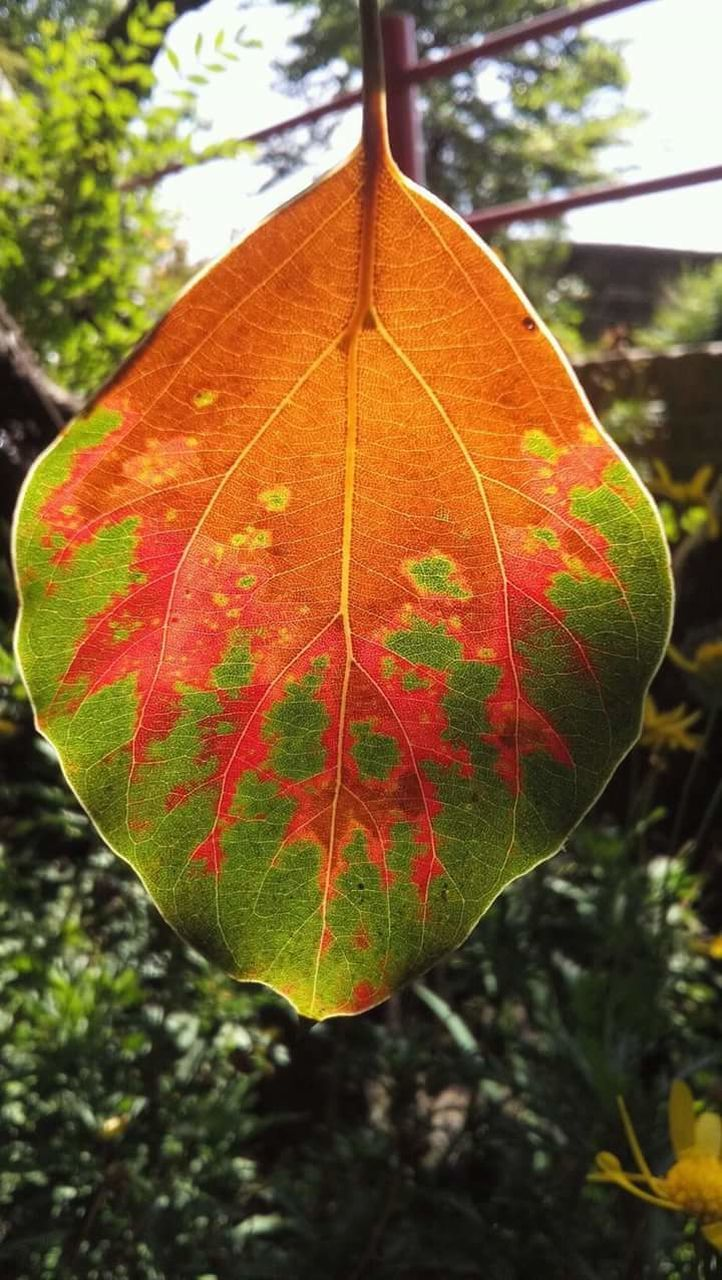 leaf, autumn, growth, nature, change, day, tree, beauty in nature, close-up, maple, outdoors, focus on foreground, maple leaf, no people, fragility, red, plant, branch, freshness, water