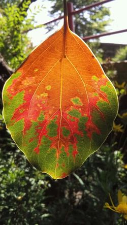 Leaf Close-up Focus On Foreground Leaf Vein Red Day Growth Outdoors Nature Fragility Beauty In Nature Green Tranquility Green Color No People Freshness Fotography Photo Camaras Nature Fotonatural First Eyeem Photo Nature Photography Fotografia Foto
