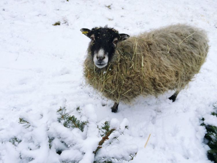 I introduce you my Neighbor the Sheep she is a Metropolitan Creature and leaves in the Waldorf School Garden in Berlin Mitte ;) having fun in the Snow