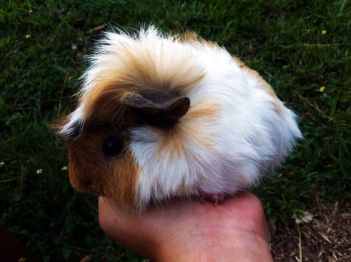Cropped image of owner holding guinea pig
