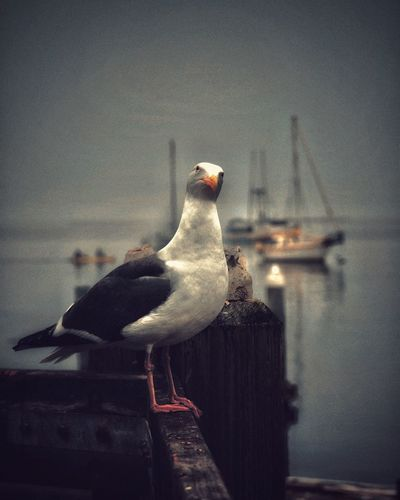 What's with you? Bird Animals In The Wild Animal Themes Perching Animal Wildlife Seagull One Animal Water Sea Bird California Eye4photography  Sailboat EyeEm Gallery Birds_collection EyeEm Best Shots Eye4photography  No People Sea Nature Wooden Post Outdoors Sky Day Beauty In Nature Close-up