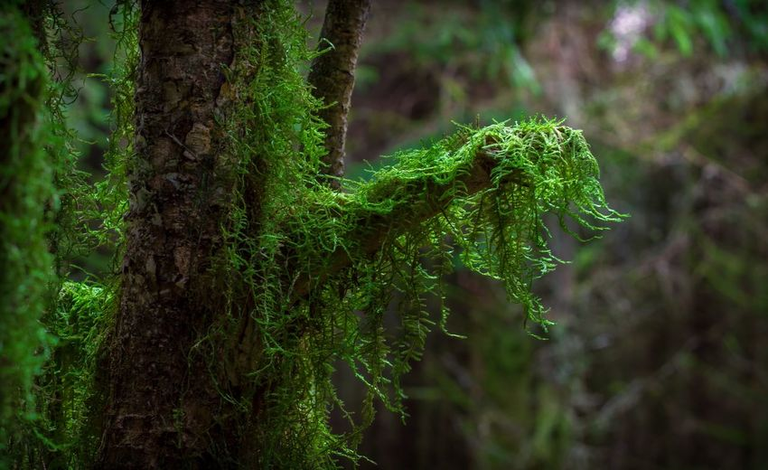Plant Green Color Growth Tree No People Nature Day Focus On Foreground Moss Close-up Beauty In Nature Outdoors Plant Part Forest Selective Focus Land Tree Trunk Trunk Branch My Best Photo