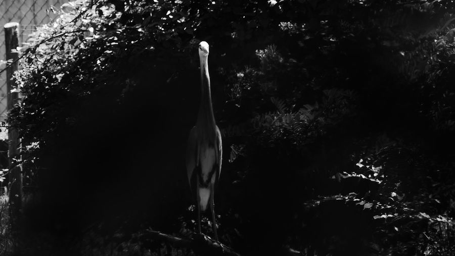 Playing hide and seek Nature Outdoors Tranquility Emilia Romagna Scenics Panasonic DMC FZ1000 Italy Animal Themes One Animal Heron Beauty In Nature Black And White
