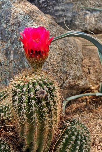 beautiful Barrel cactus bloom for the middle of summer 113 degrees I don't know how this guy survives EyeEm Best Shots EyeEm Nature Lover Eye4photography  EyeEmBestPics EyeEm Best Edits EyeEm Selects Blooming Flower Head Cactus In Bloom Thorn Spiked Spiky