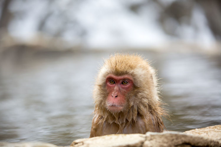 Close-Up Of Monkey Looking Away In Hot Spring