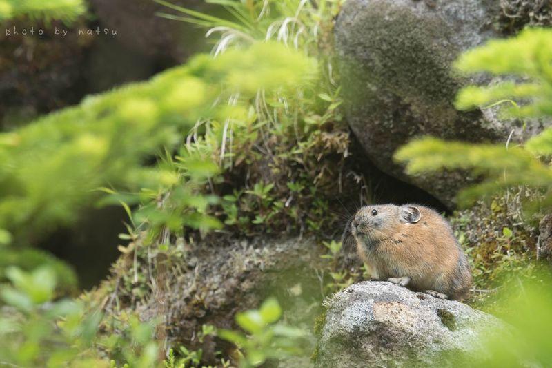 緑の中のナキウサギ Nature Photography Pika ナキウサギ Rock Rabbit 山 北海道 Japan Hokkaido Wild Animal Nature Animal Animals 野生動物 Cute