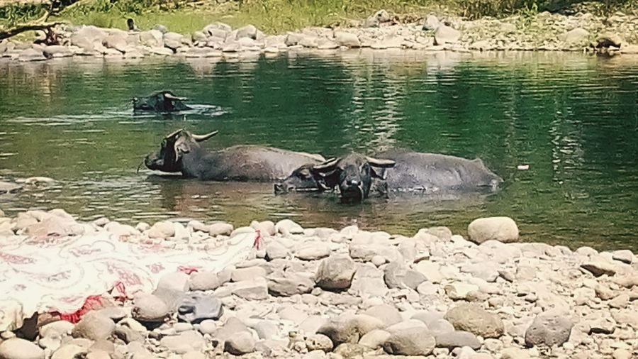 Waterbuffalo Taking Photos