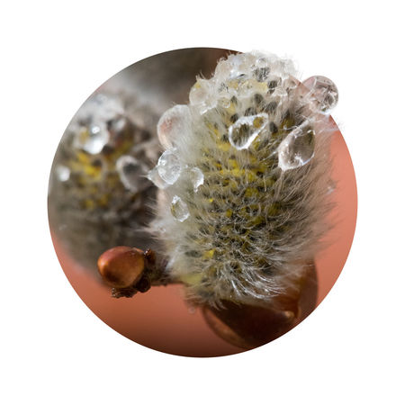Circular artwork with fluffy willow catkins and dew drops ArtWork Beautiful Nature Botany Bud Catkins Circle Clear Close-up Composition Dew Drops Dewdrops Fluffy Freshness Nature Photography Nature_collection No People Photo Art Photo Of The Day Silvery Softness Transparent Warm Colors Water Drops Willow Catkins