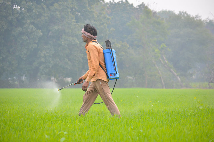 Indian farmer spraying fertilizer in his wheat field