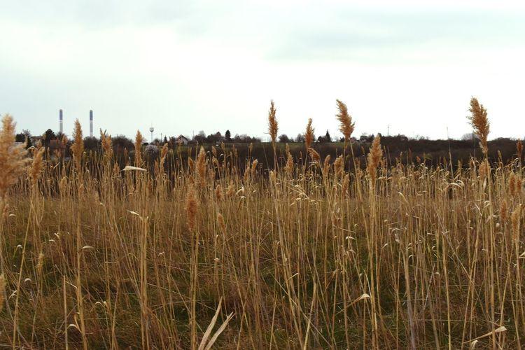 View of stalks in field against sky