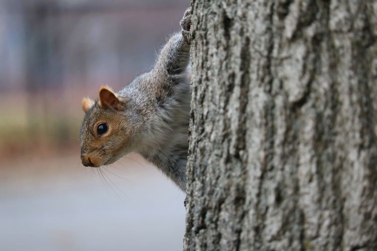 Well, hello there... Hello Squirrel Squirrel Closeup Animal Photography On A Tree Peeking Furry Fuzzy