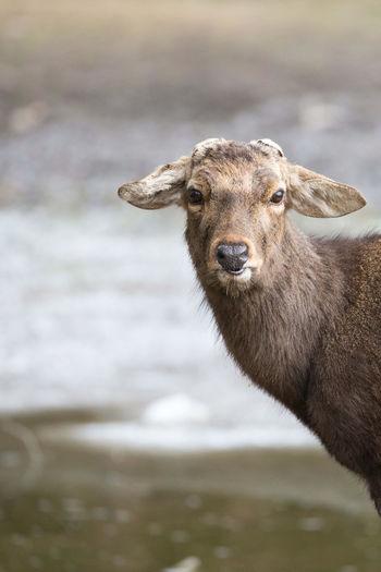 ひょこり鹿 @ 飛火野 Early Morning Deer Nara Japan Tobihino Nara Park Winter Portrait Looking At Camera Hippopotamus Close-up Animal Eye Animal Nose Animal Head  Animal Mouth