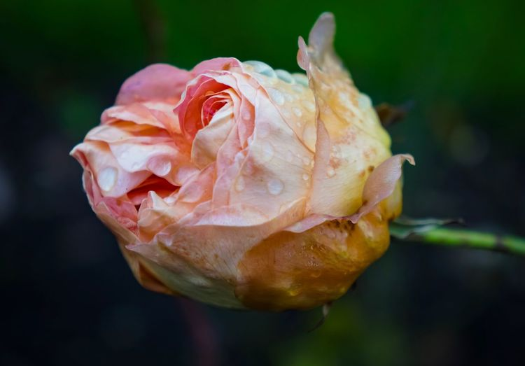 Close-up of wet rose growing outdoors